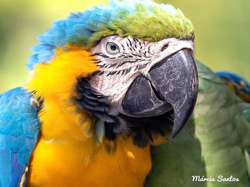 Arara de penas e plumas coloridas azuis e amarelas. Seus olhos claros  parecem lançar as perguntas e respostas presentes na poesia.