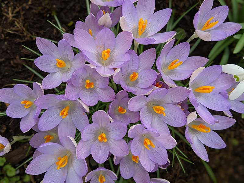 Um conjunto de flores alegres e festivas com pétalas da cor lilás e miolo alaranjado é a imagem de Cores e flores- foto poesia para começar bem o dia