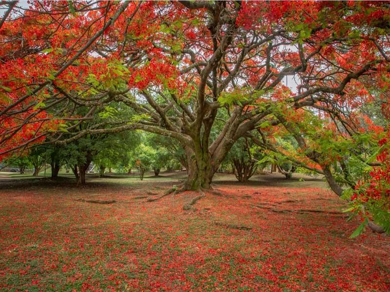 Uma grande árvore de nome  flamboyant intensamente florida em tom laranja intenso, domina o olhar do leitor na imagem de Na beira da estrada - foto poesia para começar bem a semana