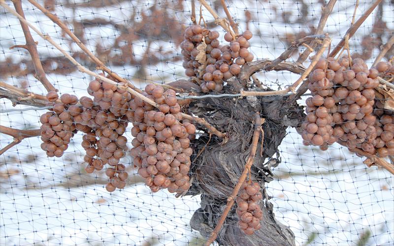 Cachos de uvas congelados, ainda na videira, para a produção do Icewine Vidal, do canadá para o mundo