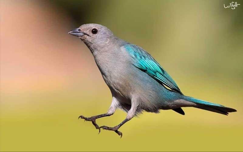A imagem traz passarinho de cores azuladas brilhantes, dá um salto no espaço, como um atleta nas Olimpíada das aves. Pode-se imaginar o azul de suas asas e o cinza de suas plumagens, como o short e a blusa de seu uniforme olímpico .