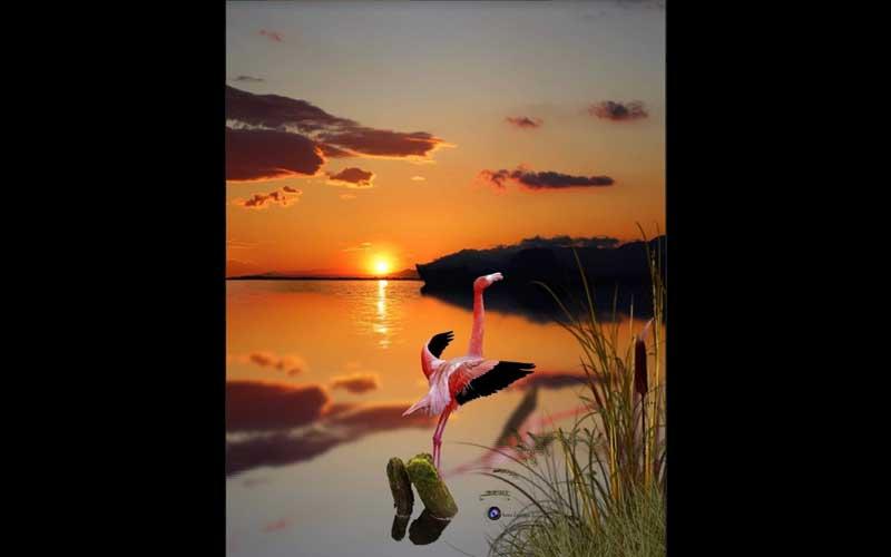 A ave no pantanal em posição de levantar vôo, tem um tom rosado como o por do sol da foto, evidenciando delicadeza. A água parada dá a sensação de mansidão e calma.  detalhes verdaes dão força à natureza tropical do pantanal.