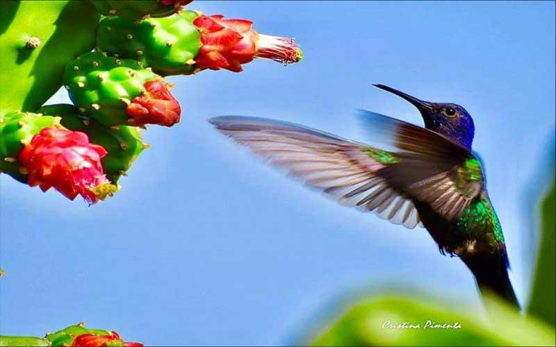 A imagem da foto poesia traz, à direita, um beija flor em tons de verde e azul brilhantes. As asas um pouco desfocadas, indicam o movimento da ave que se sustenta no ar.  A planta carnuda em tom de verde forte com espinhos e flores  vermelhas nas ponta,s , contrasta com  a delicadeza do passarinho.